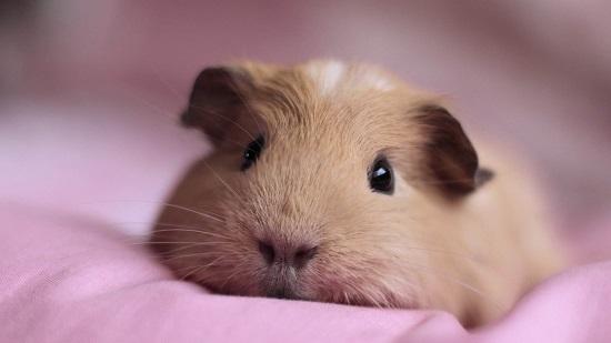 豚鼠和荷兰猪的区别 豚鼠和荷兰猪有什么区别