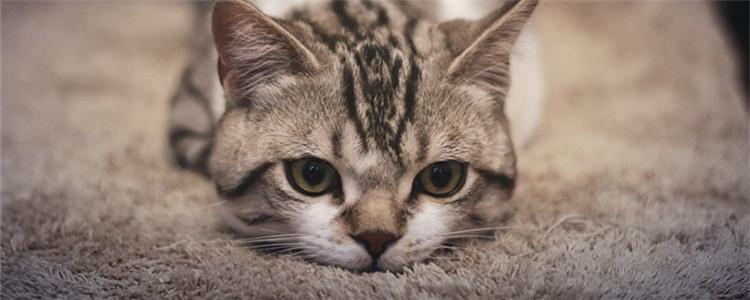 奶猫不吃奶虚弱怎样救 奶猫不吃奶虚弱不动了