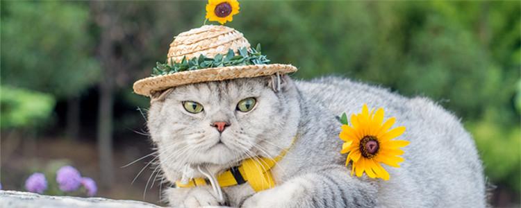 猫瘟治愈的几率大吗 猫瘟治愈的几率是多少