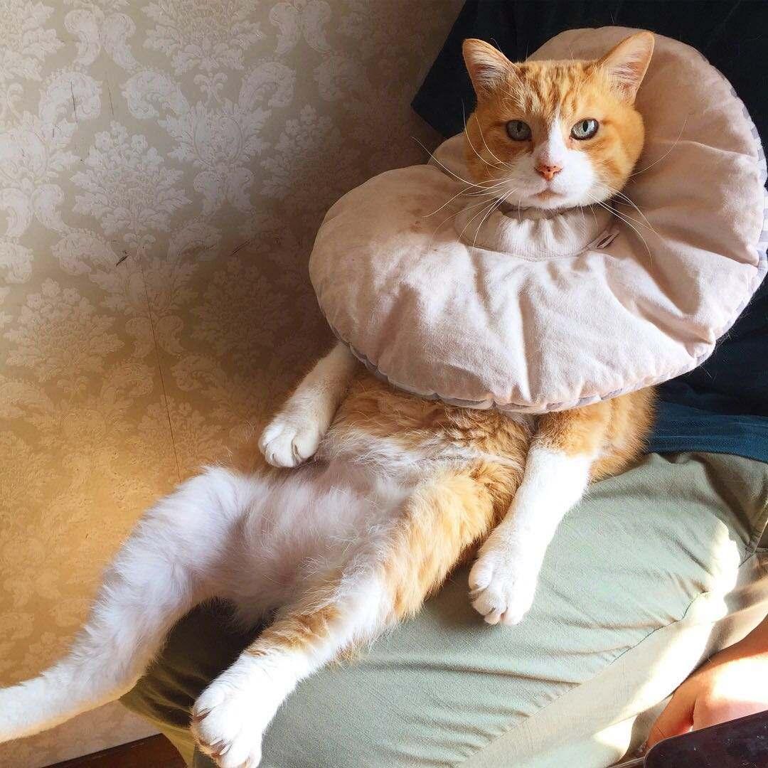猫带伊丽莎白项圈吃不了东西怎么办
