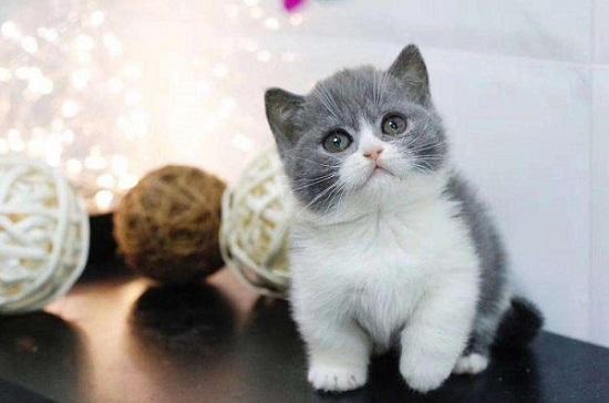 蓝白是什么品种的猫