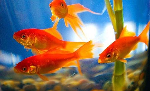 养的红色鱼为什么变黑-轻博客