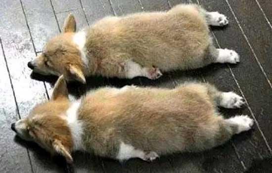小狗吃多了撑了怎么办 小狗吃撑后要及时处理