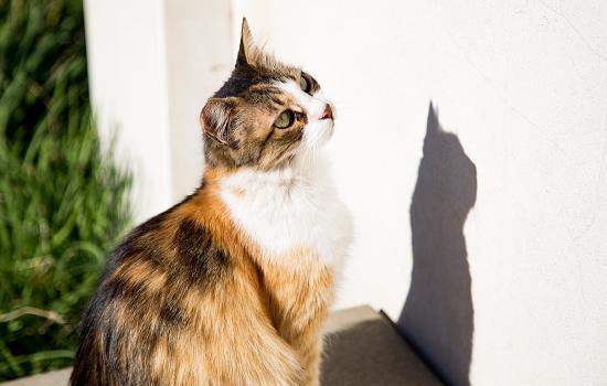 成年猫会得猫癣吗 成年猫容易得猫癣吗插图(1)