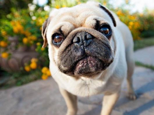 养巴哥犬有什么优点插图
