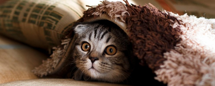 猫可以吃三文鱼刺身吗 三文鱼刺身可以给猫吃吗
