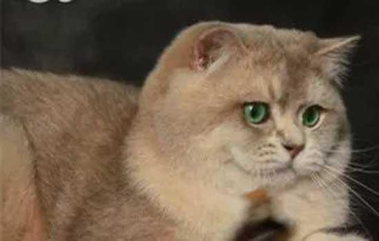 折耳猫有哪些品种 折耳猫究竟有多少种