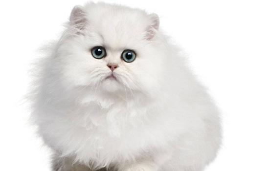 20天的猫怎么辨别长毛短毛 奶猫怎么分辨长毛短毛