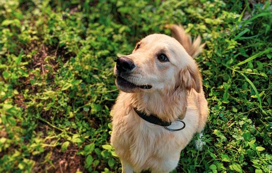 为什么不能打金毛幼犬 不能打金毛幼犬的原因