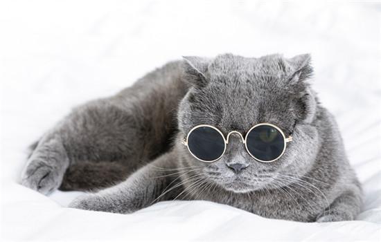 英短和蓝猫是一个品种吗