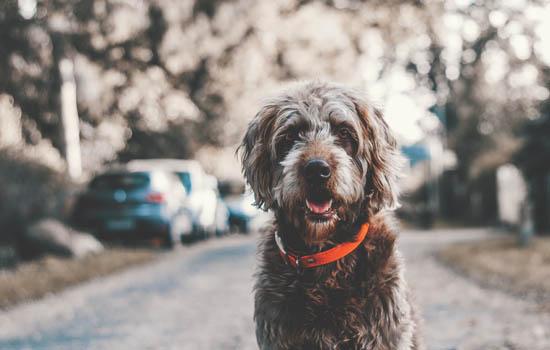 狗狗跟谁都走怎么办 狗狗跟谁都走怎么办差点丢了