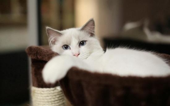 猫为什么会得趾间炎
