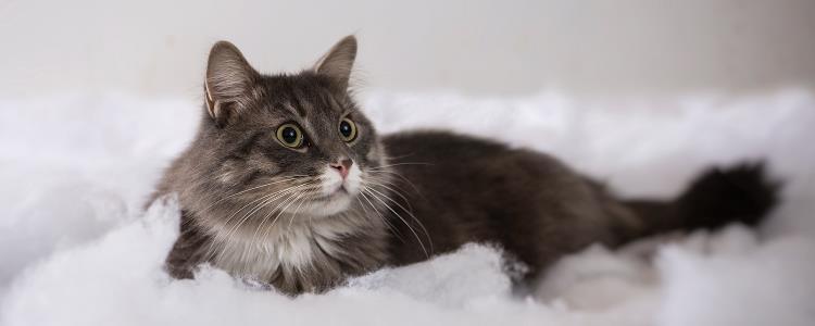 木天蓼可以给猫吃吗 四个月猫可以吃木天蓼吗