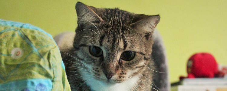 猫发腮是什么时候 猫发腮时间点
