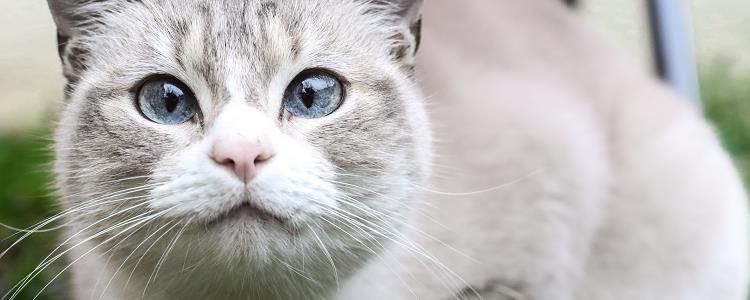 猫发腮要吃生牛肉吗 猫发腮要吃什么
