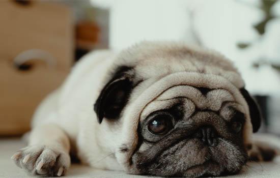 小狗眼屎多是什么原因引起的 小狗眼屎多的原因