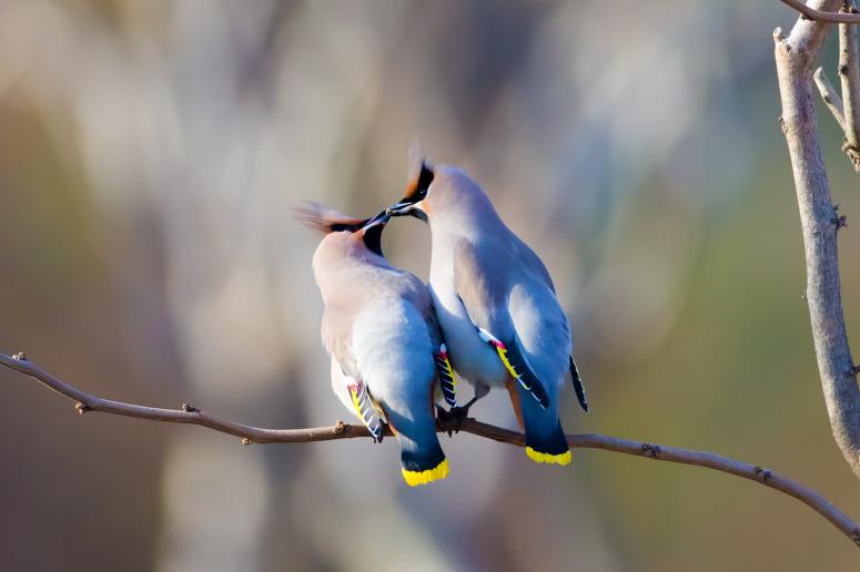 太平鸟的寓意象征 太平鸟的寓意是什么