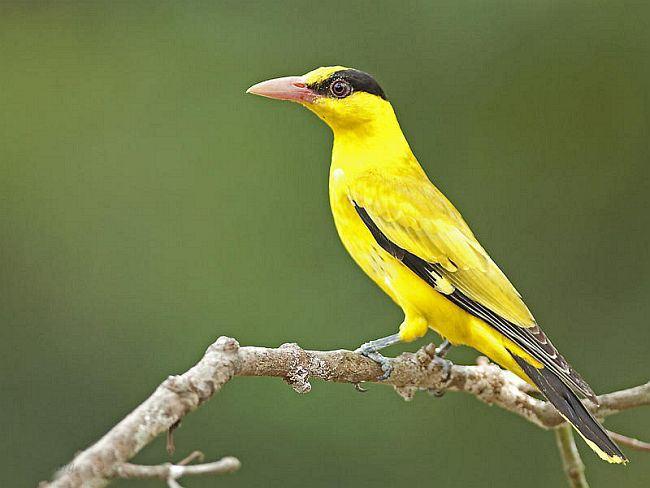 黄鹂鸟是保护动物吗 黄鹂鸟是不是保护动物