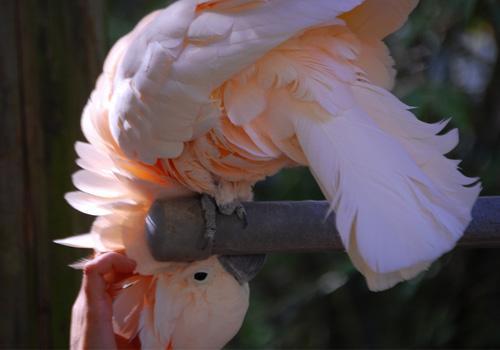 摩鹿加凤头鹦鹉多少钱一只 摩鹿加凤头鹦鹉多少钱