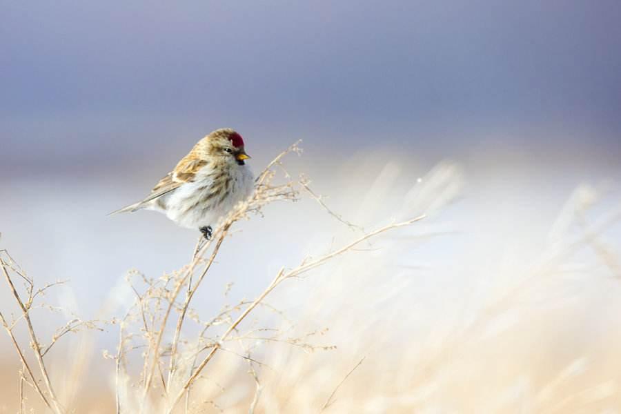 白腰朱顶雀怎样饲养 白腰朱顶雀如何饲养