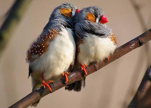 斑胸草雀怎么区分公母 斑胸草雀怎么分辨是雌雄