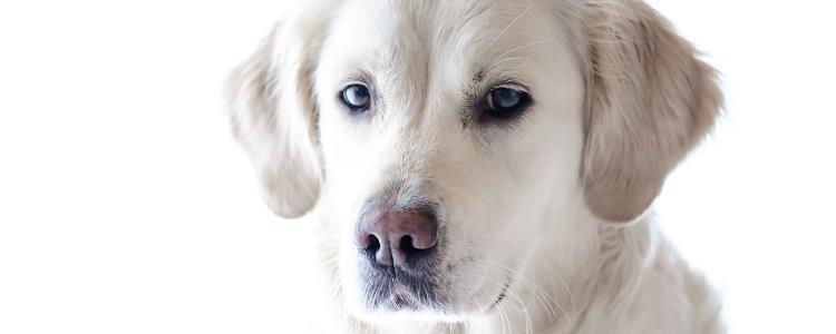狗狗感冒和犬瘟的區別 狗狗感冒和犬瘟有什么不同