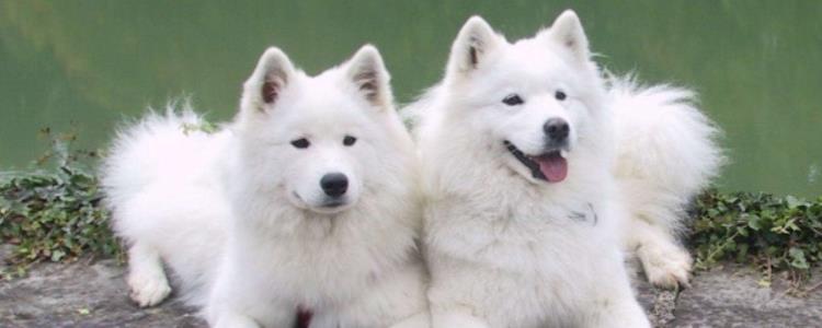 薩摩耶只有白色么 薩摩耶除了白色還有什么顏色