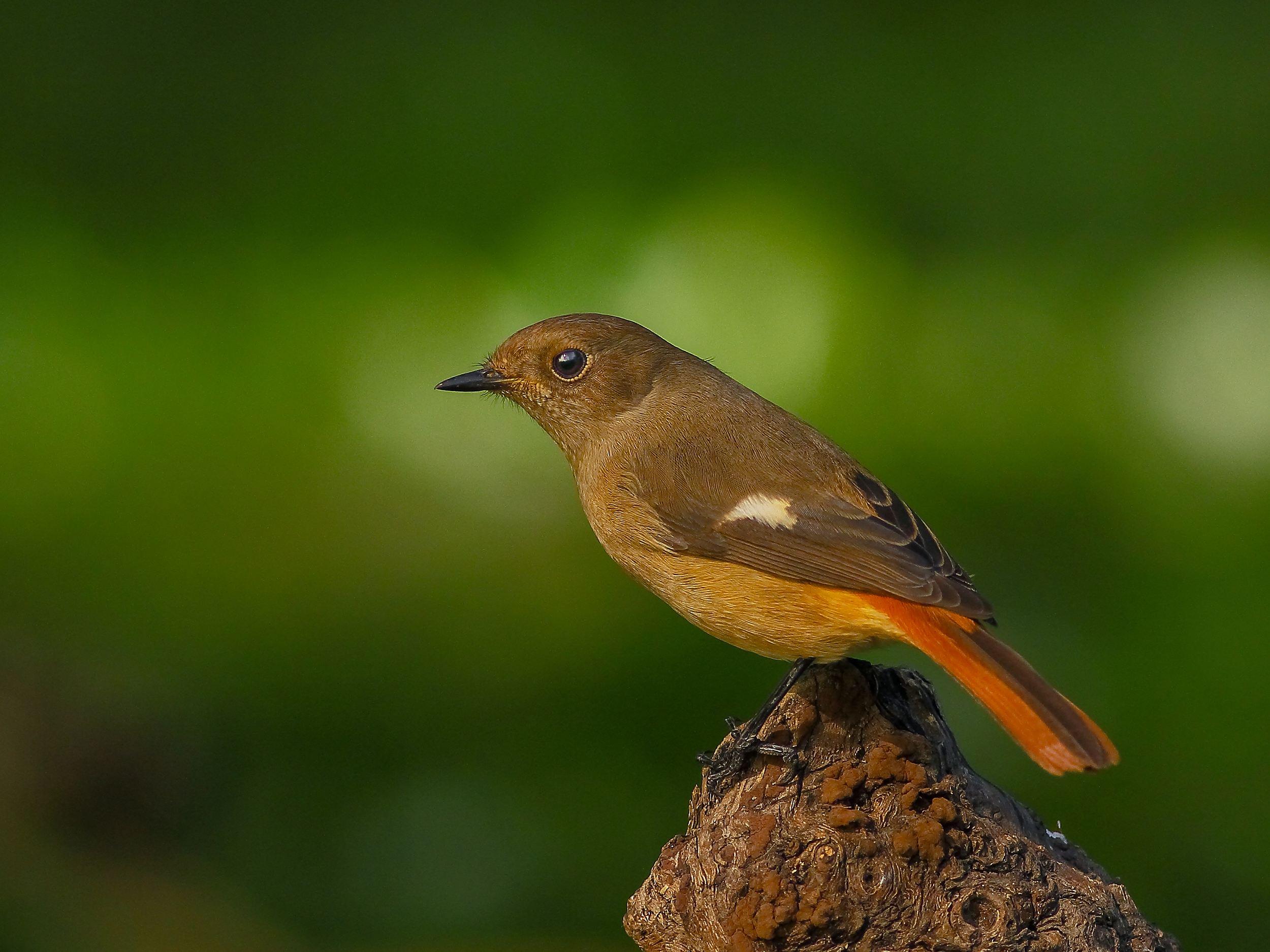 北红尾鸲属于什么鸟 北红尾鸲是什么鸟