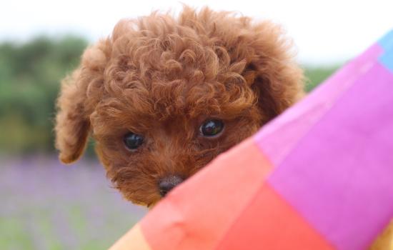 泰迪狗喜爱吃什么食物 泰迪狗喜爱吃什么插图