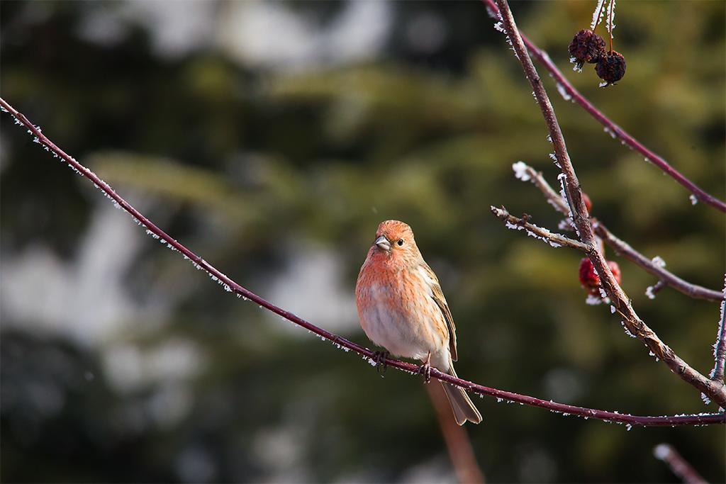 北朱雀是保护动物吗 北朱雀是不是保护动物