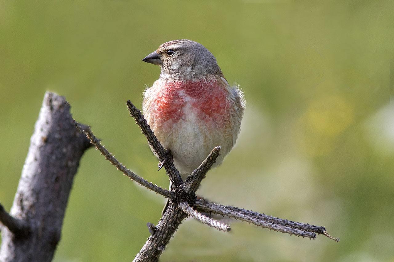 赤胸朱顶雀民间叫法 赤胸朱顶雀民间叫什么