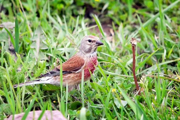 赤胸朱顶雀怎么养 赤胸朱顶雀的饲养方法