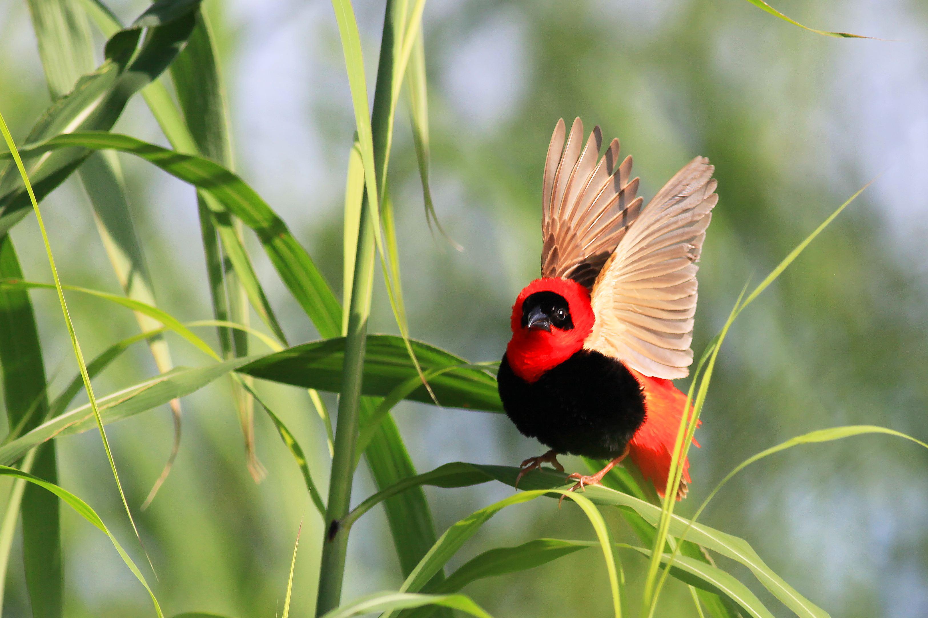 红寡妇鸟喂养 红寡妇鸟的喂养