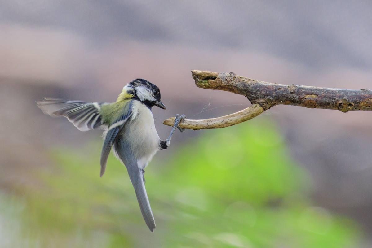 大山雀一般能活多少年 大山雀一般能活多久