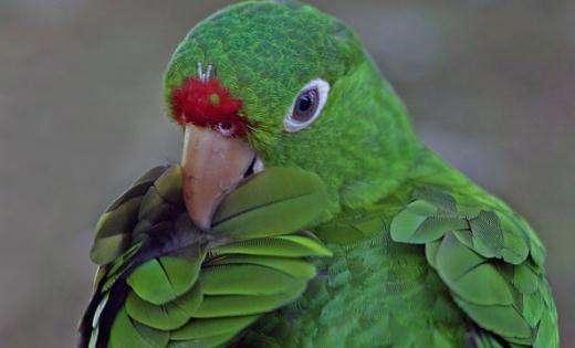 红肩金刚鹦鹉与栗额金刚鹦鹉区别