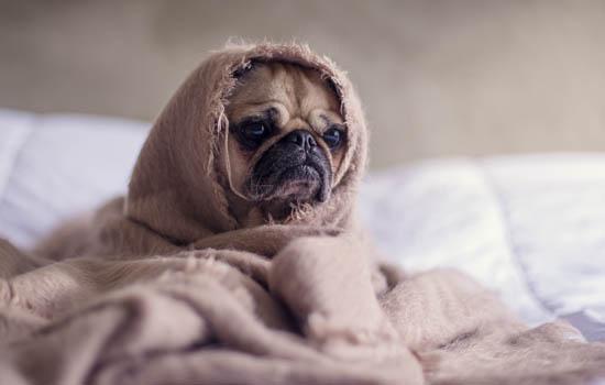 狗狗生理期有什么表現 狗狗生理期的表現