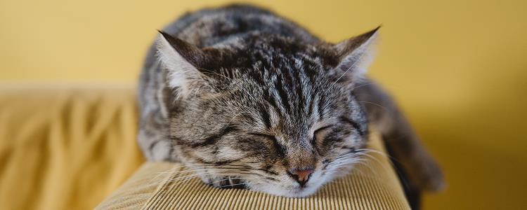 猫吃粽子叶会不会生病 猫吃粽子叶会不会有问题
