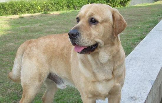 成年拉布拉多犬有多大