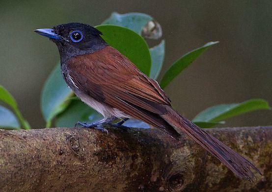 紫寿带鸟怎么样 紫寿带鸟适合养吗