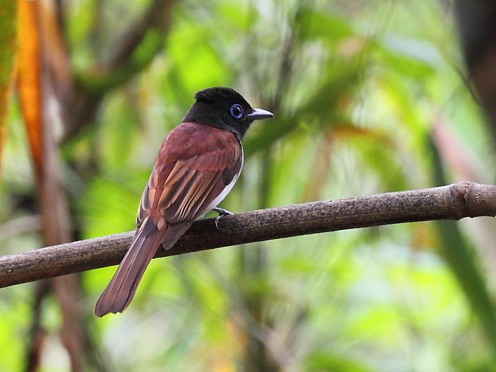 紫寿带鸟怎么养 紫寿带鸟好养吗
