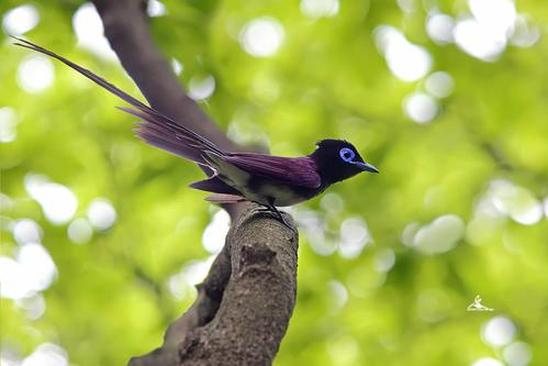 紫寿带鸟寓意 紫寿带鸟有什么寓意