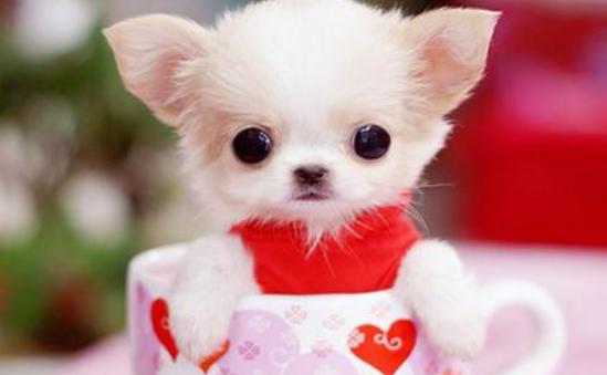 茶杯犬是怎么来的 茶杯犬的诞生