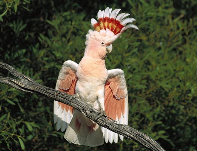 摩鹿加凤头鹦鹉的价格 摩鹿加凤头鹦鹉价格