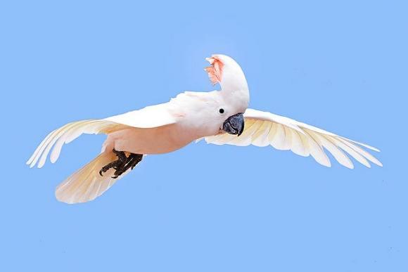 摩鹿加凤头鹦鹉形态特征 摩鹿加凤头鹦鹉外形特征