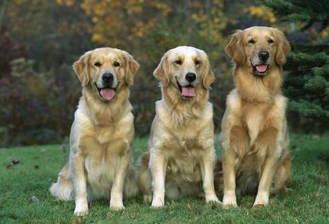 金毛几岁算成年 金毛几岁算成年犬