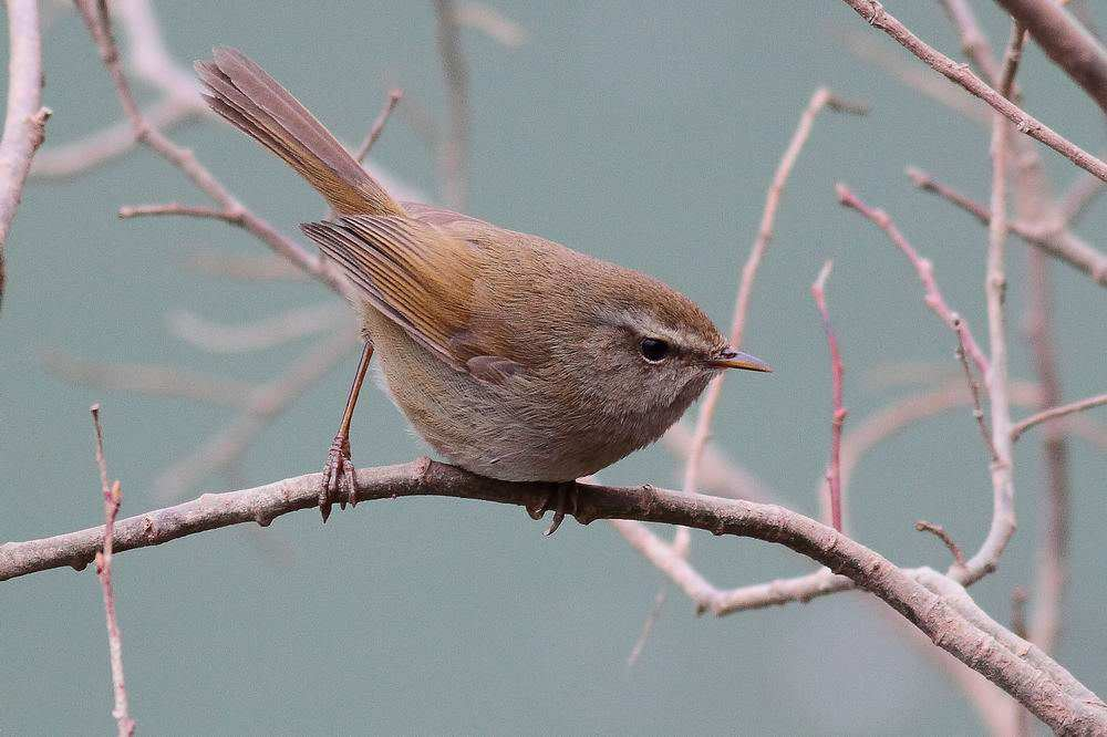 远东树莺与强脚树莺区分 强脚树莺与远东树莺的区别
