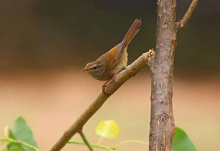 强脚树莺公母分别 强脚树莺公母辨认