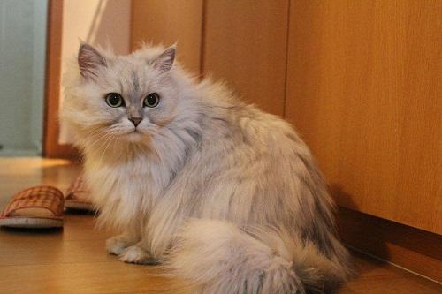 猫产后出血多久干净