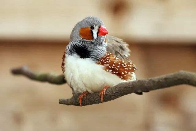 金山珍珠鸟价格 金山珍珠鸟价格多少