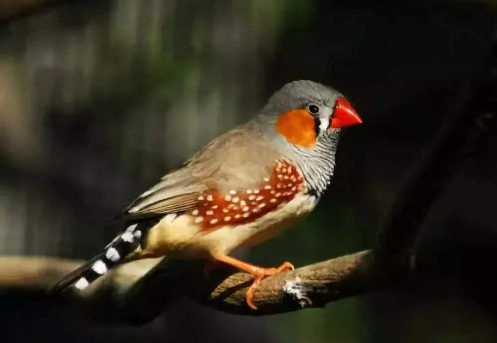 白金山珍珠鸟价格 白色金山珍珠鸟多少钱